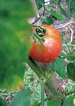 201308_tomato
