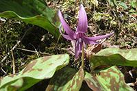 20120407_カタクリの花