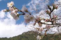 万場町☆冬桜