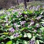 南牧村☆カタクリの花